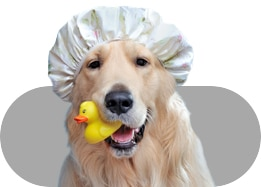 Dog with a shower cap and rubber ducky