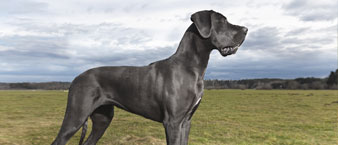 Great Dane staring into the distance